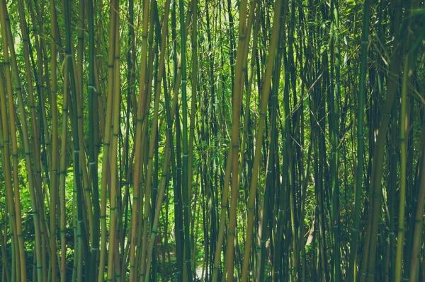 bamboo-828703_1280