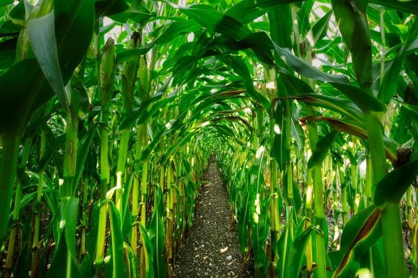 corn-4457379_1280